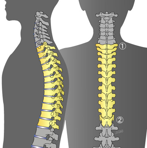「胸椎」の画像検索結果